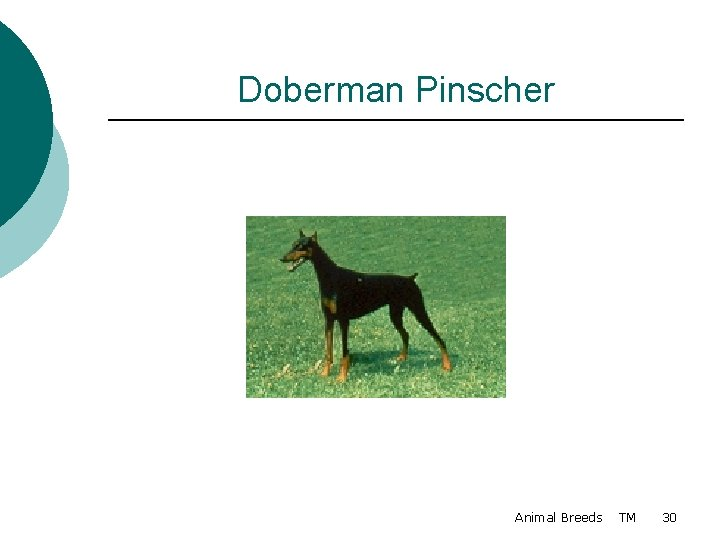 Doberman Pinscher Animal Breeds TM 30
