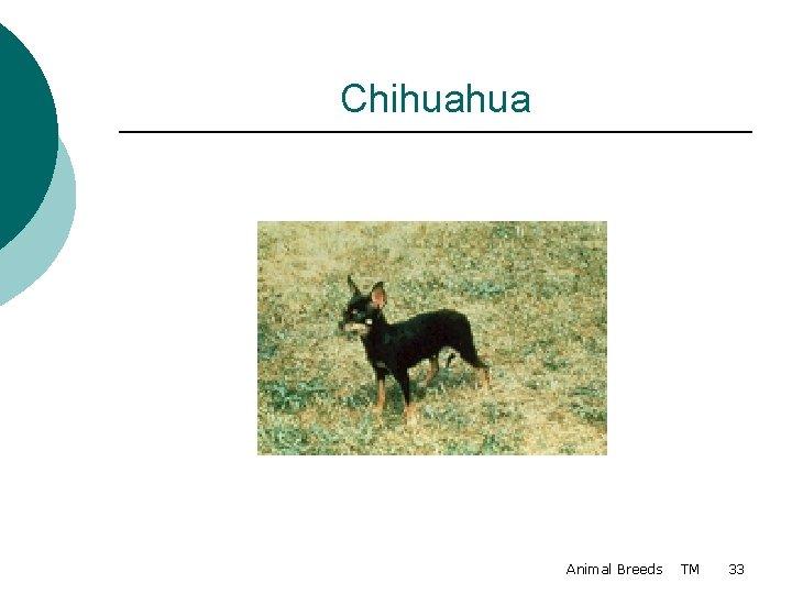 Chihuahua Animal Breeds TM 33