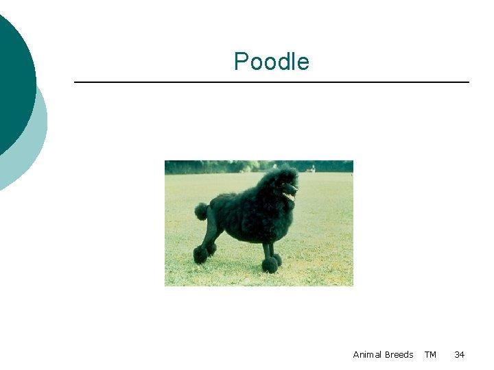 Poodle Animal Breeds TM 34