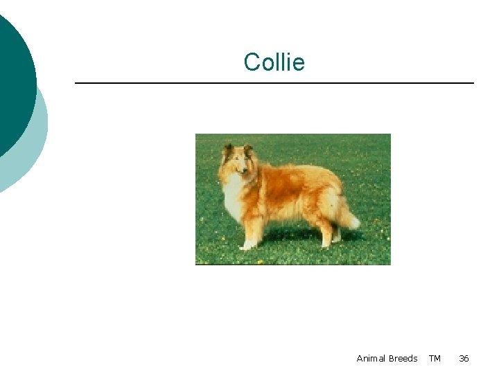 Collie Animal Breeds TM 36