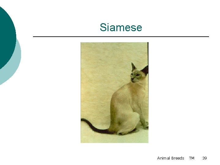 Siamese Animal Breeds TM 39