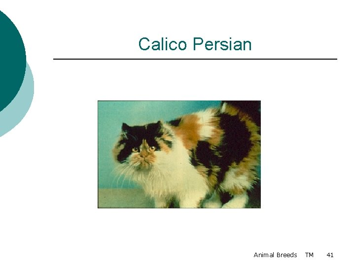 Calico Persian Animal Breeds TM 41