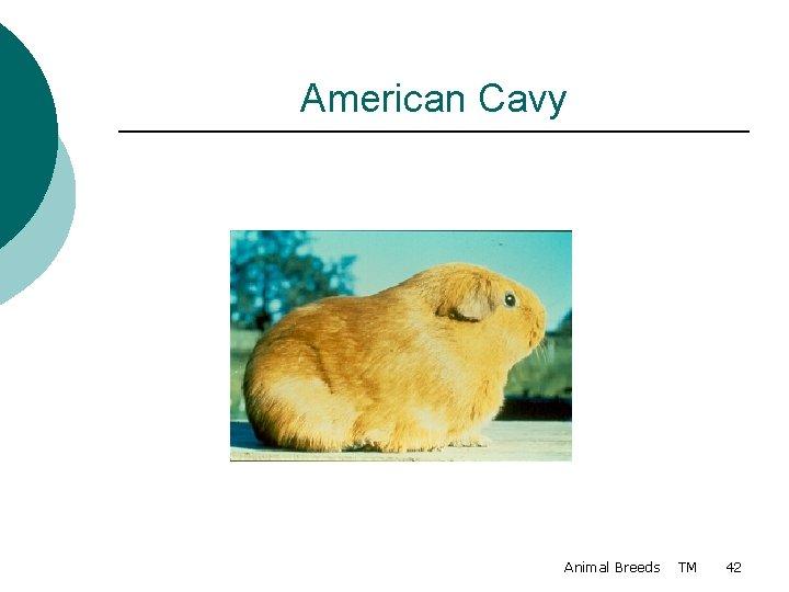 American Cavy Animal Breeds TM 42