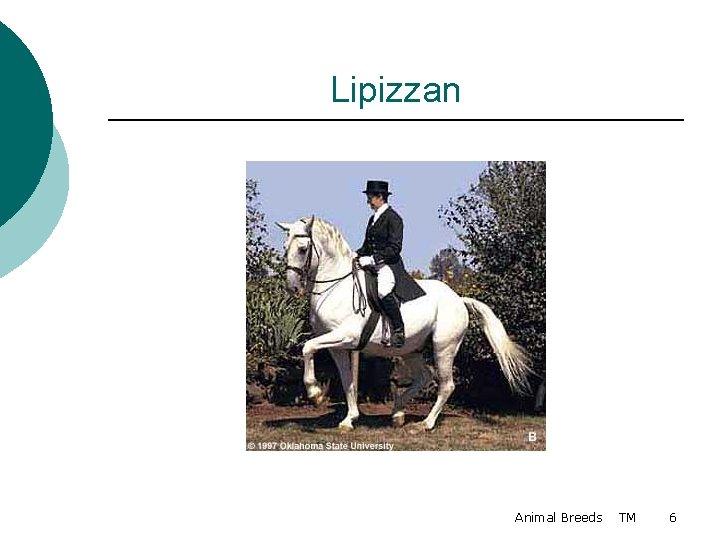 Lipizzan Animal Breeds TM 6