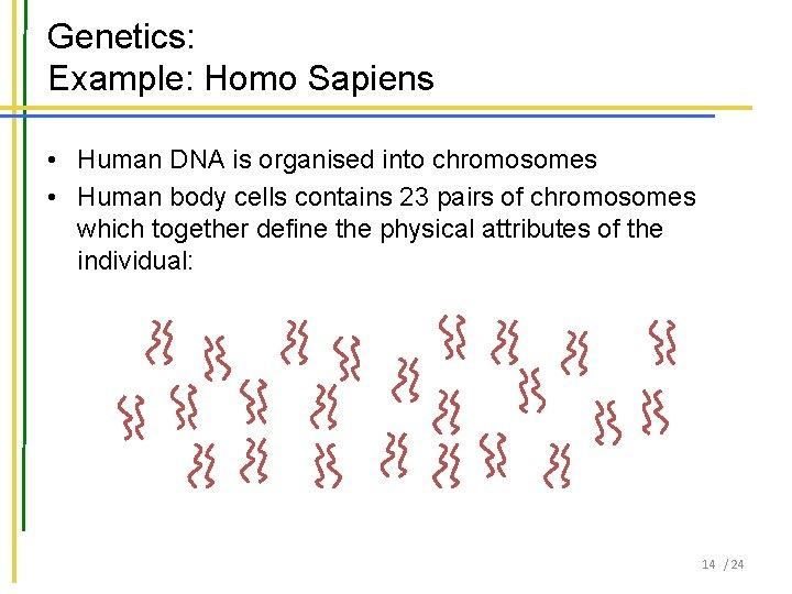 Genetics: Example: Homo Sapiens • Human DNA is organised into chromosomes • Human body