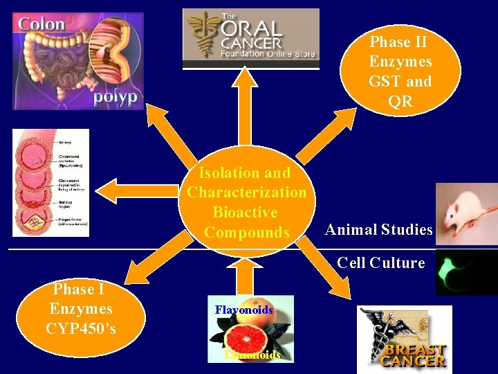 Phase II Enzymes GST and QR Isolation and Characterization Bioactive Compounds Animal Studies Cell