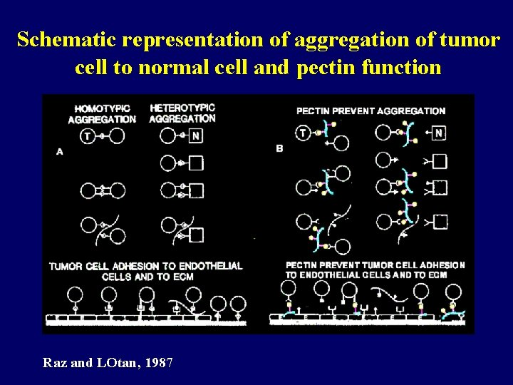 Schematic representation of aggregation of tumor cell to normal cell and pectin function Raz