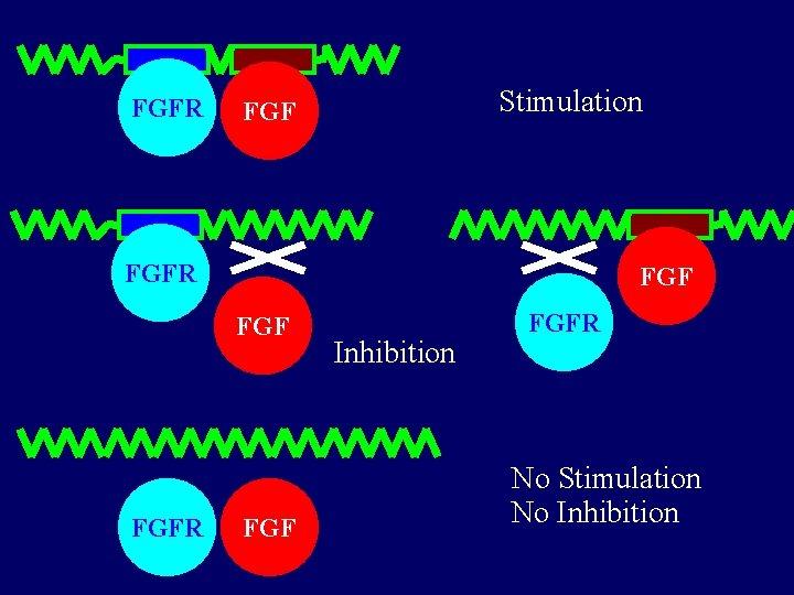 FGFR Stimulation FGF FGFR FGF Inhibition FGFR No Stimulation No Inhibition