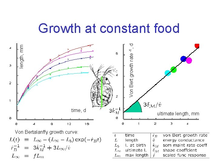 length, mm Von Bert growth rate -1, d Growth at constant food time, d