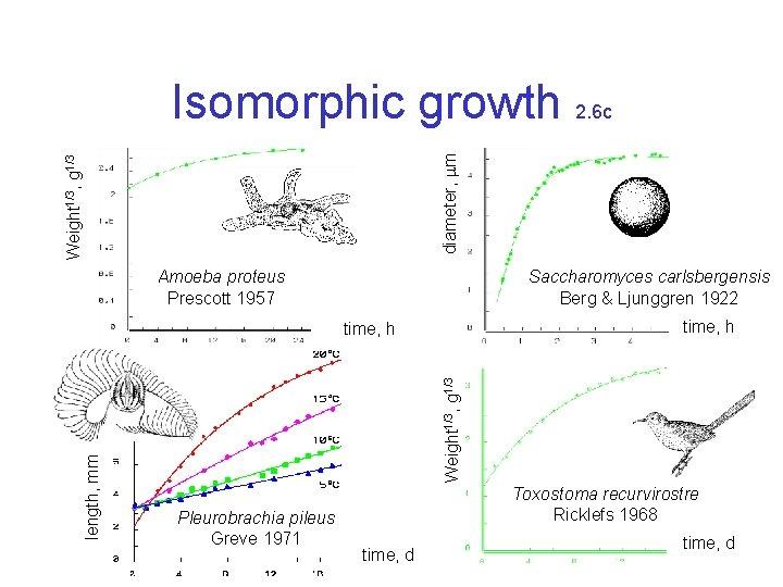 Weight 1/3, g 1/3 diameter, m Isomorphic growth 2. 6 c Amoeba proteus Prescott