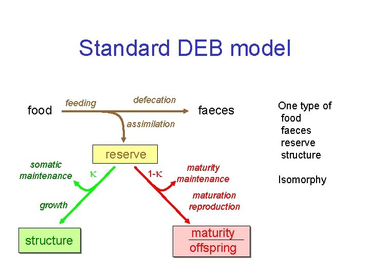 Standard DEB model food feeding defecation faeces assimilation somatic maintenance growth structure reserve 1