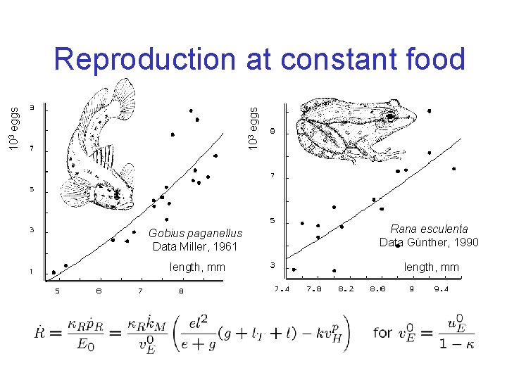 103 eggs Reproduction at constant food Gobius paganellus Data Miller, 1961 Rana esculenta Data