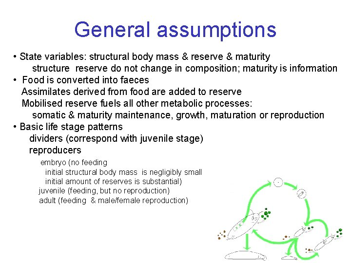 General assumptions • State variables: structural body mass & reserve & maturity structure reserve