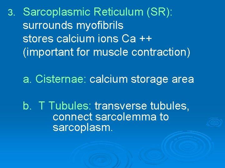 3. Sarcoplasmic Reticulum (SR): surrounds myofibrils stores calcium ions Ca ++ (important for muscle