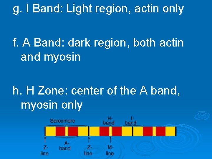 g. I Band: Light region, actin only f. A Band: dark region, both actin