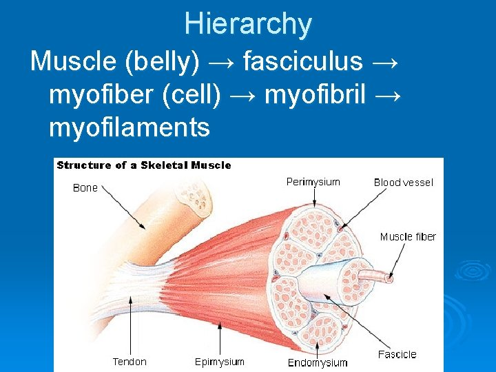 Hierarchy Muscle (belly) → fasciculus → myofiber (cell) → myofibril → myofilaments