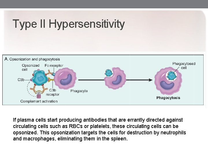 Type II Hypersensitivity If plasma cells start producing antibodies that are errantly directed against