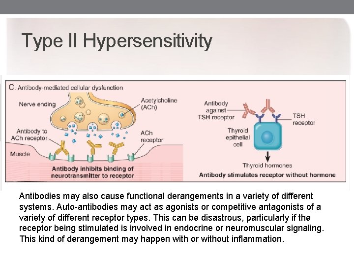 Type II Hypersensitivity Antibodies may also cause functional derangements in a variety of different