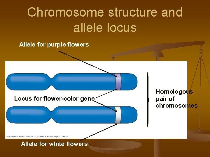 Chromosome structure and allele locus Allele for purple flowers Locus for flower-color gene Allele