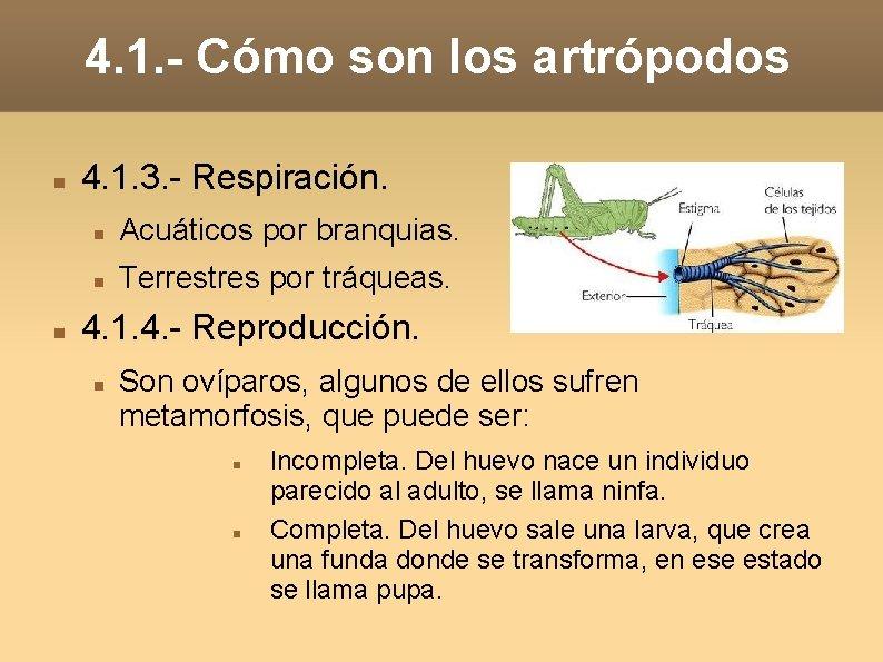 4. 1. - Cómo son los artrópodos 4. 1. 3. - Respiración. Acuáticos por