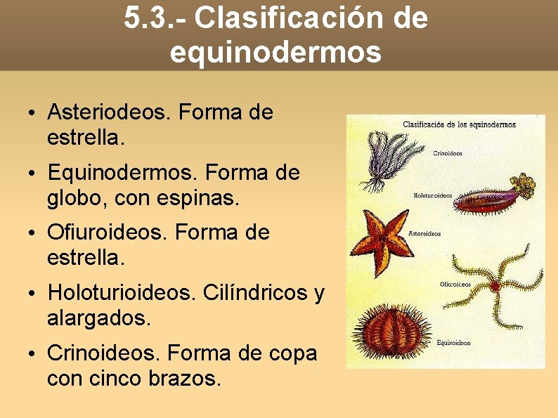 5. 3. - Clasificación de equinodermos • Asteriodeos. Forma de estrella. • Equinodermos. Forma