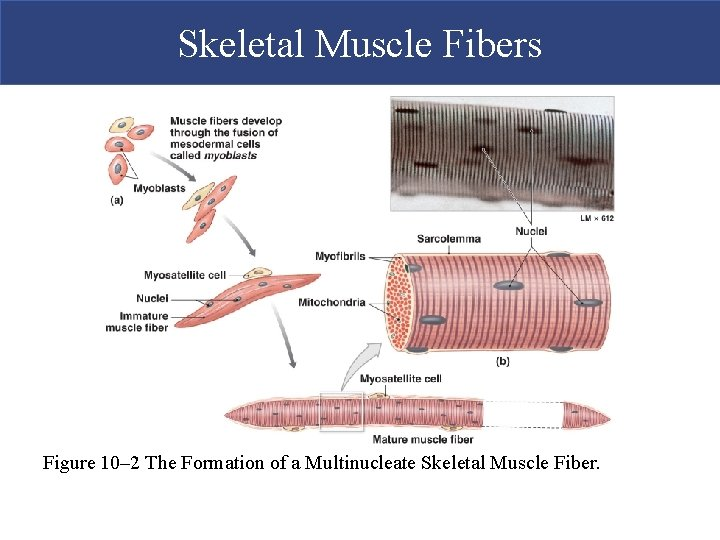 Skeletal Muscle Fibers Figure 10– 2 The Formation of a Multinucleate Skeletal Muscle Fiber.