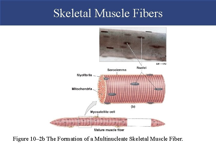 Skeletal Muscle Fibers Figure 10– 2 b The Formation of a Multinucleate Skeletal Muscle