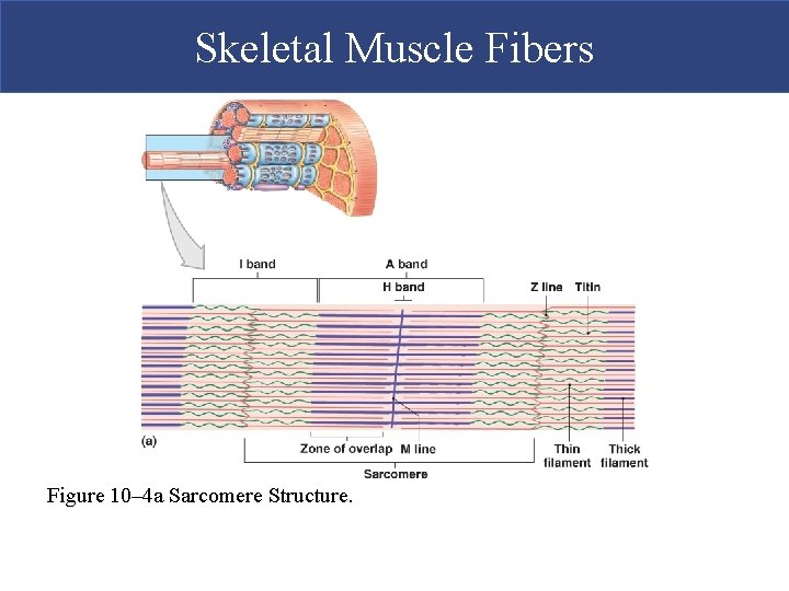 Skeletal Muscle Fibers Figure 10– 4 a Sarcomere Structure.