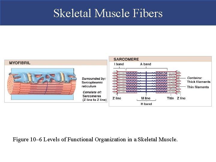 Skeletal Muscle Fibers Figure 10– 6 Levels of Functional Organization in a Skeletal Muscle.