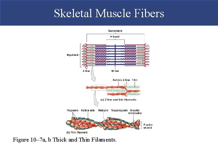 Skeletal Muscle Fibers Figure 10– 7 a, b Thick and Thin Filaments.
