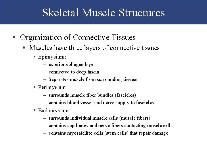 Skeletal Muscle Structures § Organization of Connective Tissues § Muscles have three layers of