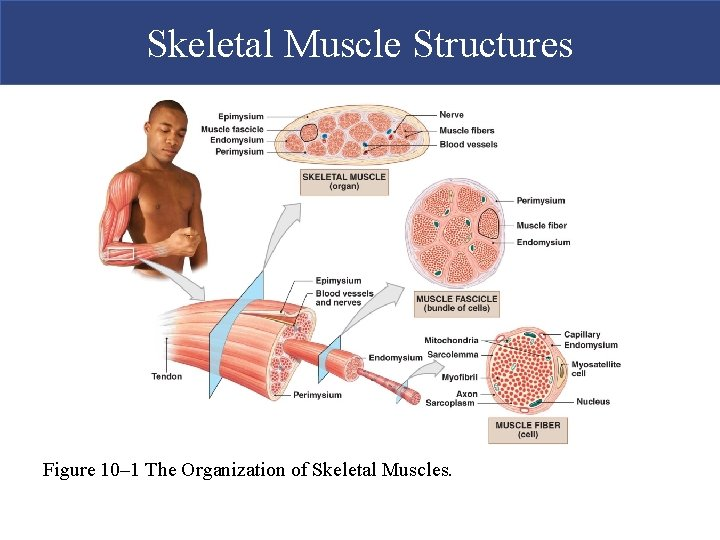 Skeletal Muscle Structures Figure 10– 1 The Organization of Skeletal Muscles.