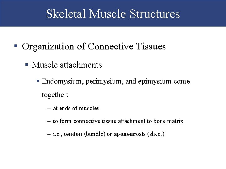 Skeletal Muscle Structures § Organization of Connective Tissues § Muscle attachments § Endomysium, perimysium,