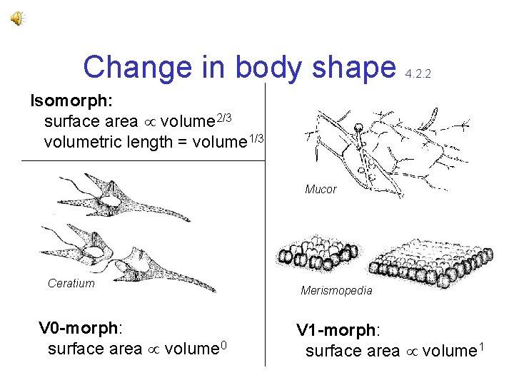 Change in body shape 4. 2. 2 Isomorph: surface area volume 2/3 volumetric length