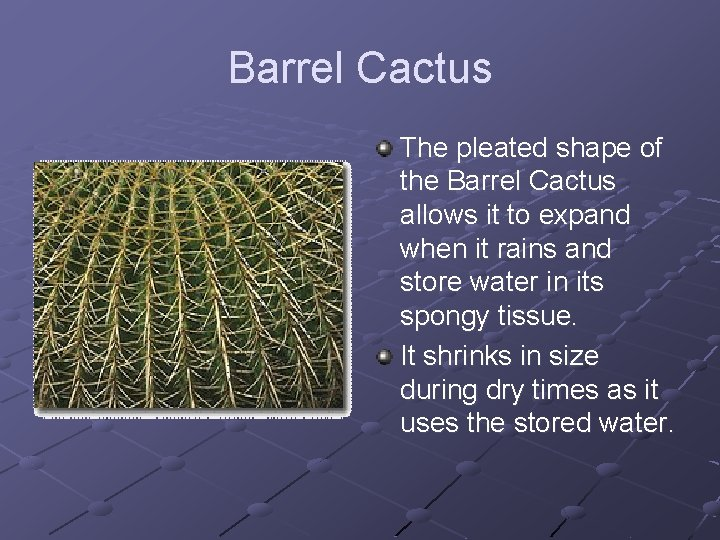 Barrel Cactus The pleated shape of the Barrel Cactus allows it to expand when