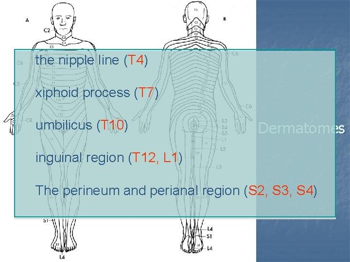 the nipple line (T 4) xiphoid process (T 7) umbilicus (T 10) Dermatomes inguinal