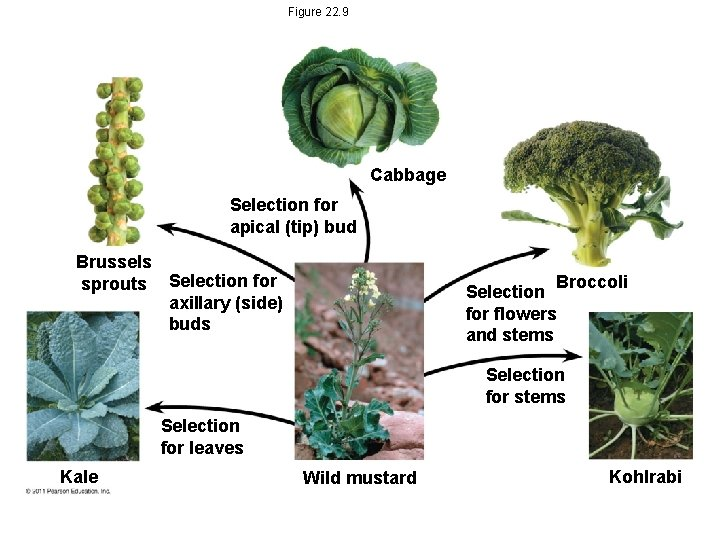Figure 22. 9 Cabbage Selection for apical (tip) bud Brussels sprouts Selection for axillary