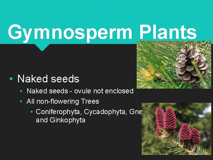 Gymnosperm Plants • Naked seeds - ovule not enclosed • All non-flowering Trees •