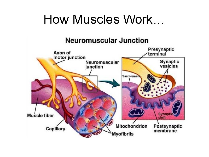 How Muscles Work…