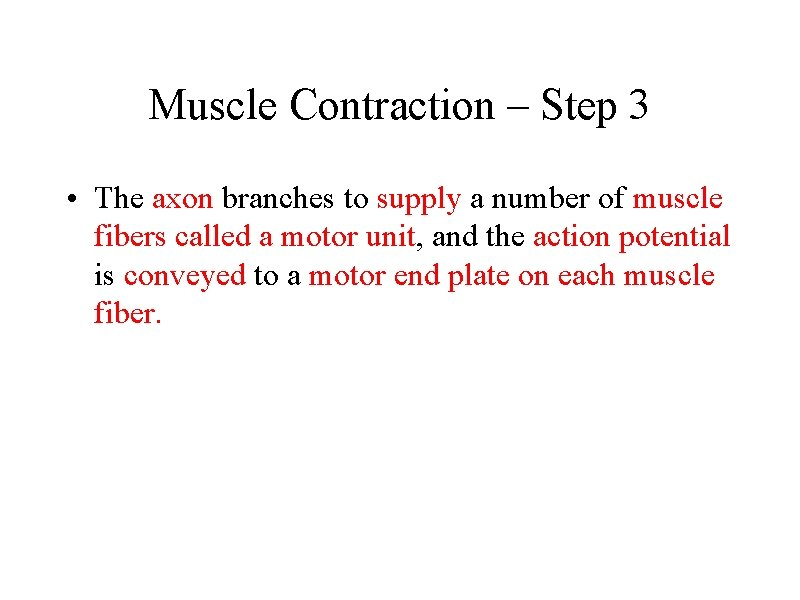 Muscle Contraction – Step 3 • The axon branches to supply a number of