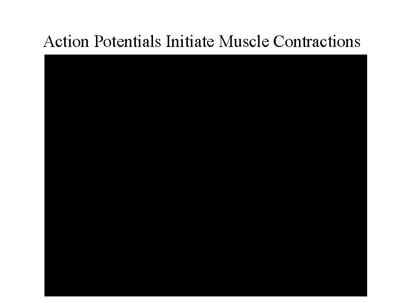 Action Potentials Initiate Muscle Contractions