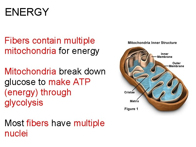 ENERGY Fibers contain multiple mitochondria for energy Mitochondria break down glucose to make ATP