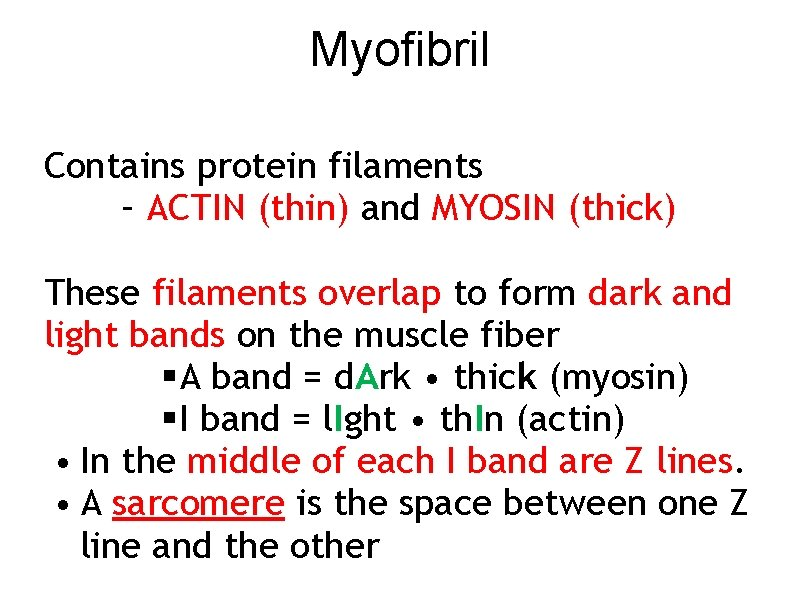 Myofibril Contains protein filaments – ACTIN (thin) and MYOSIN (thick) These filaments overlap to