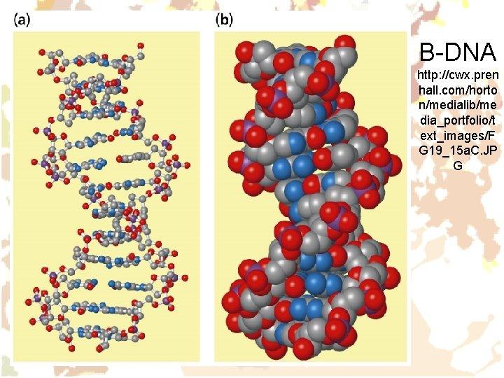 B-DNA http: //cwx. pren hall. com/horto n/medialib/me dia_portfolio/t ext_images/F G 19_15 a. C. JP