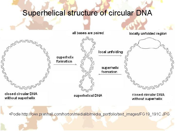 Superhelical structure of circular DNA • Podle http: //cwx. prenhall. com/horton/medialib/media_portfolio/text_images/FG 19_191 C. JPG