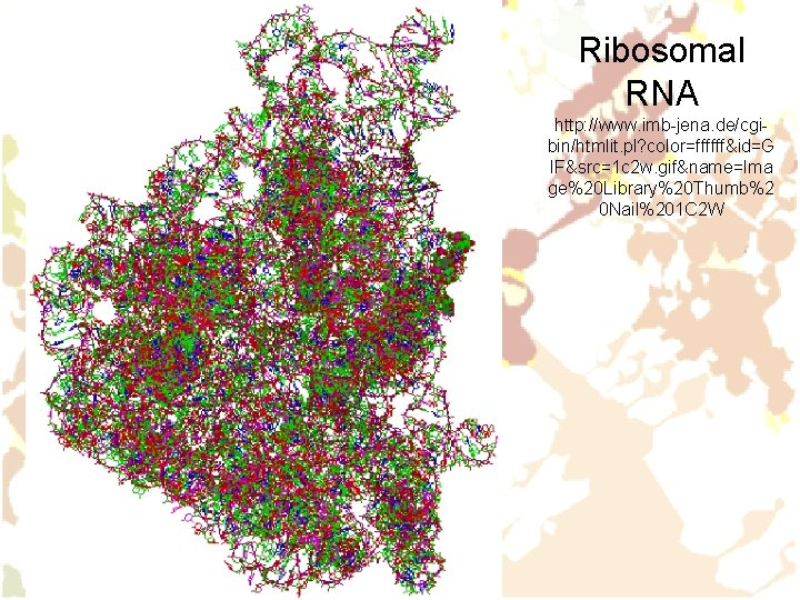 Ribosomal RNA http: //www. imb-jena. de/cgibin/htmlit. pl? color=ffffff&id=G IF&src=1 c 2 w. gif&name=Ima ge%20