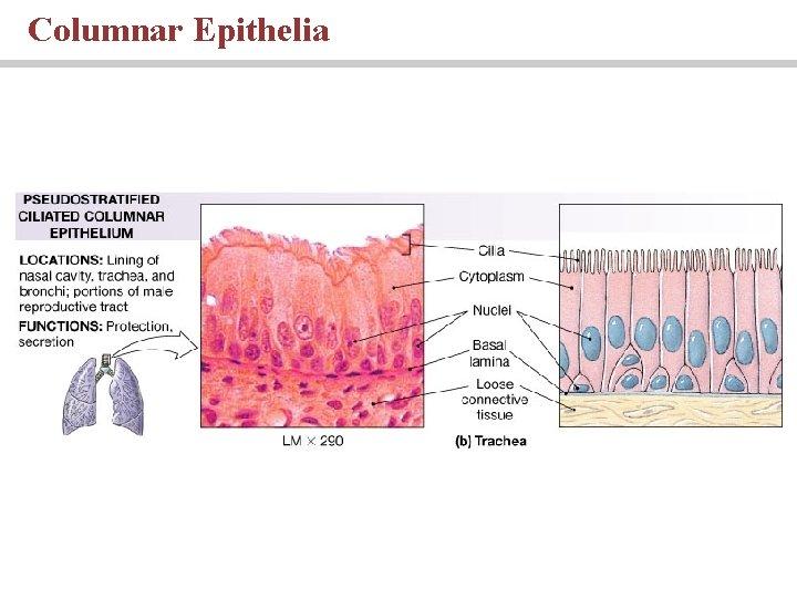 Columnar Epithelia