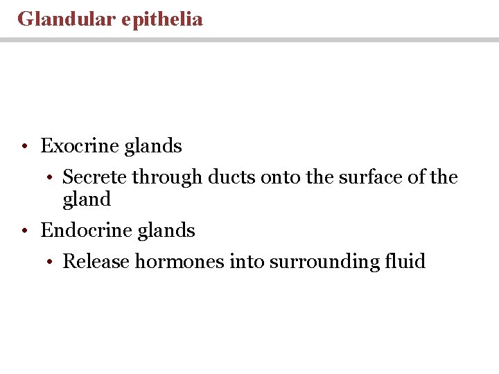 Glandular epithelia • Exocrine glands • Secrete through ducts onto the surface of the
