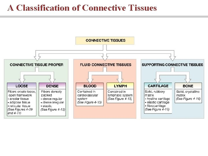 A Classification of Connective Tissues