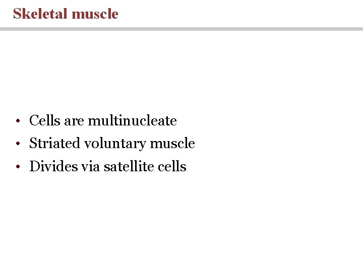 Skeletal muscle • Cells are multinucleate • Striated voluntary muscle • Divides via satellite